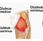 Gluteus Medius Muscles
