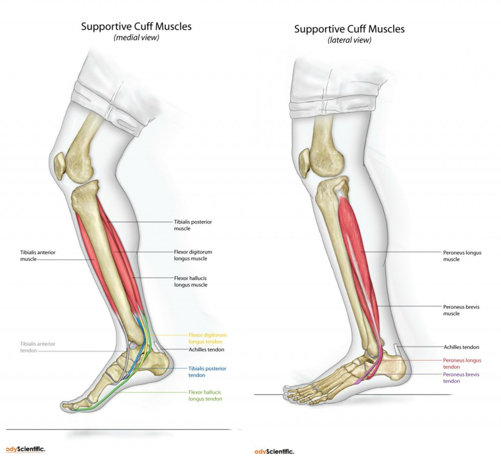 The long tendons of the spring suspension system medial and lateral